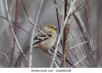a wintering American Goldfinch