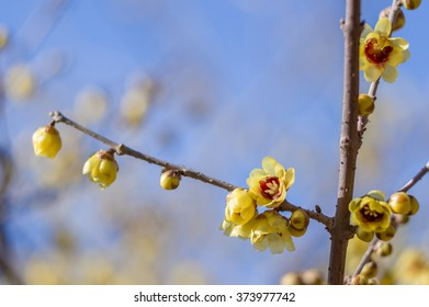 Wintersweet flower