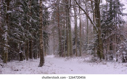 Wintertime landscape of snowy deciduous stand with path across, Bialowieza Forest, Poland, Europe