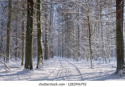 Wintertime landscape of snowy deciduous stand with road across, Bialowieza Forest, Poland, Europe