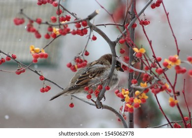 Wintery closeup of a fluffy male sparrow sitting on and surrounded by a gnarly branch of Bittersweet berries.
