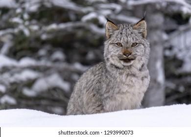 Wintery close-up of a young lynx seen in in Banff National Park, Canada.