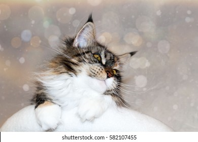 Wintery maine Coon cat is lying on a scratching tree!