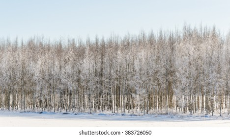 Wintry birch trees in the snow on a lake in Finland.