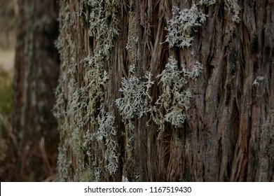 wintry white lichen growing on the barked trunk of a native tree in a forested area, rural New South Wales, Australia