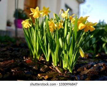 Wiosenne kwiaty żółty kolor, żonkile w ogrodzie o poranku - image - Shutterstock ID 1330996847