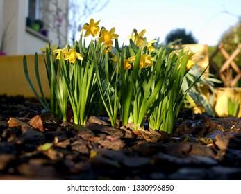 Wiosenne kwiaty żółty kolor, żonkile w ogrodzie o poranku - image - Shutterstock ID 1330996850