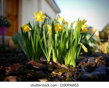 Wiosenne kwiaty żółty kolor, żonkile w ogrodzie o poranku - image - Shutterstock ID 1330996853