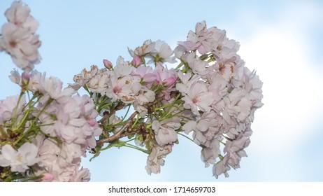 wiosna w ogrodzie, kwitnące drzewa - Shutterstock ID 1714659703