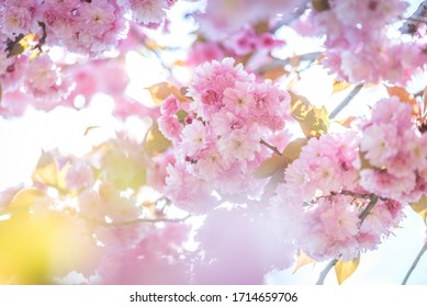 wiosna w ogrodzie, kwitnące drzewa - Shutterstock ID 1714659706