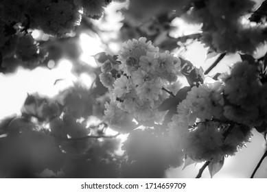 wiosna w ogrodzie, kwitnące drzewa - Shutterstock ID 1714659709