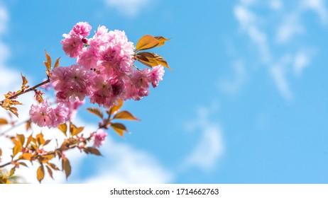 wiosna w ogrodzie, kwitnące drzewa - Shutterstock ID 1714662763