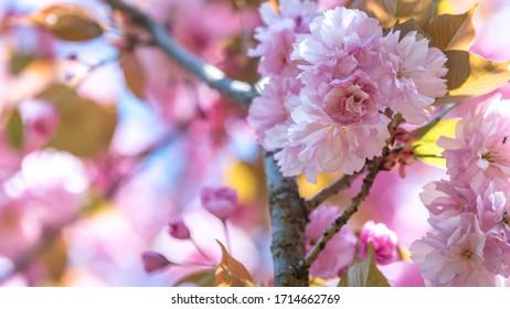 wiosna w ogrodzie, kwitnące drzewa - Shutterstock ID 1714662769