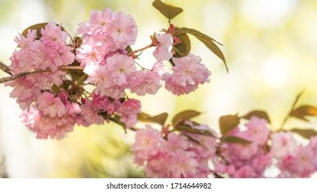 Wiosna w ogrodzie, kwitnące drzewo - Shutterstock ID 1714644982