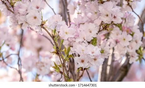 Wiosna w ogrodzie, kwitnące drzewo - Shutterstock ID 1714647301
