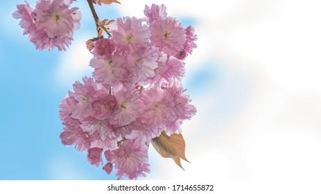 Wiosna w ogrodzie, kwitnące drzewo - Shutterstock ID 1714655872