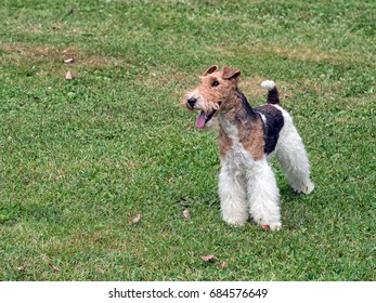 Wire hair fox terrier outside, standing, No person. In park with grass.