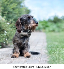 Wire haired dachshund with a bow