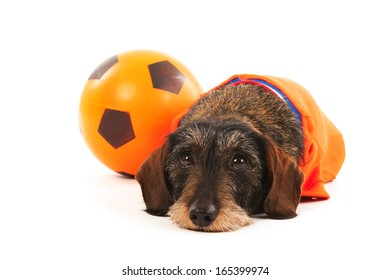 Wire haired dachshund as Dutch soccer sports fan with ball isolated over white background