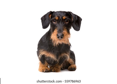 wire haired dachshund in front of a white background