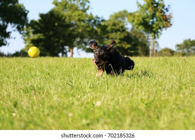 wire haired dachshund is playing with a ball in the garden