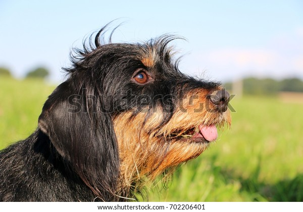 wire haired dachshund portrait in the garden