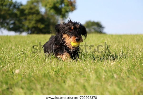 wire haired dachshund is running in the garden with a ball in the mouth