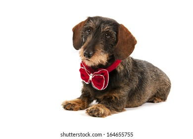 Wire haired dachshund with velvet Christmas bow isolated over white background