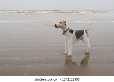 Wire haired fox terrier on a wet beach, tide out Norfolk coast UK
