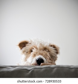A wire haired fox terrier peeking over the back of a sofa, in search of a dog biscuit.