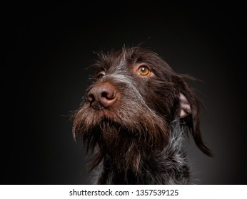 wire haired griffon in a studio setting on an isolated black background