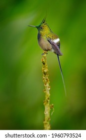 Wire-crested thorntail, Discosura popelairii, hummingbird from Colombia, Ecuador and Peru. Beautiful bird with crest, siting in the green tropic forest, Sumaco, Ecuador. Birdwatching in South America.