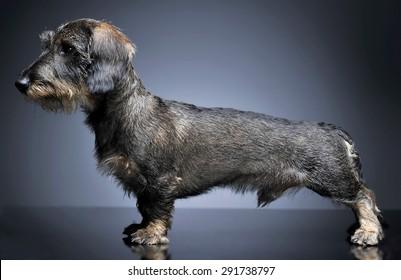 wired hair dachshund standard  in dark studio