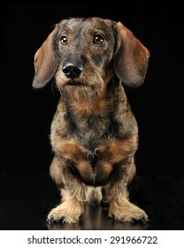 Wired hair dachshund standing in a black photo studio