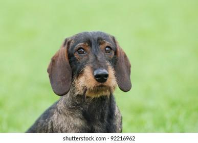 Wire-haired dachshund dog portrait in garden