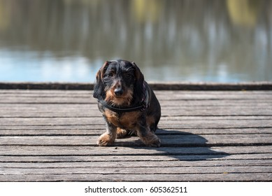 Wire-haired dachshund dog pose in the park