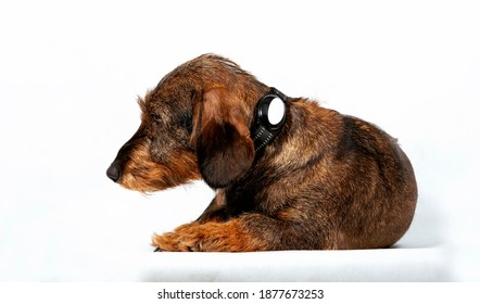 Wire-haired dachshund with electronic gps collar