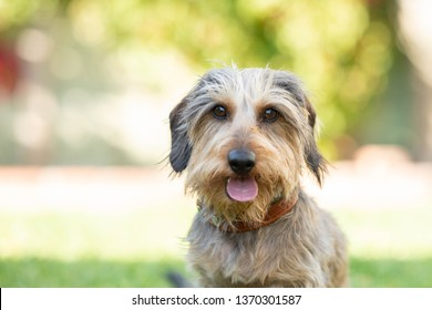 Wire-haired Dachshund Outside