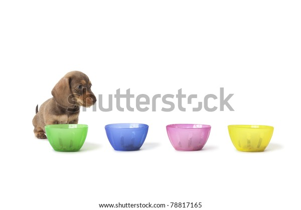 Wire-haired dachshund puppy cannot choose between colored cups with food isolated on white background