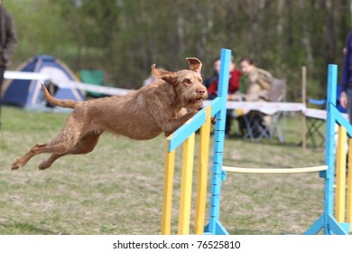 Wire-haired Hungarian Vizsla jumping over the hurdle during agility competition