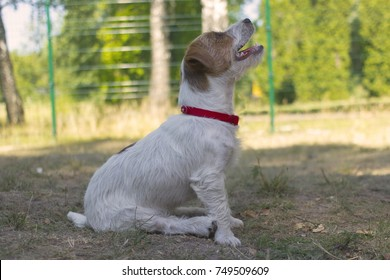 Wire-haired Jack Russell terrier sits on the grass and looks closely up