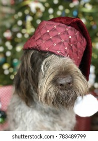 wirehaired pointing griffon ready for Christmas