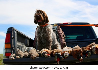 A Wire-haired Pointing Griffon sits in the bed of a pickup truck with her trophies from the day's hunt.