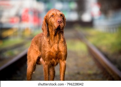 Wirehaired Vizsla in the City
