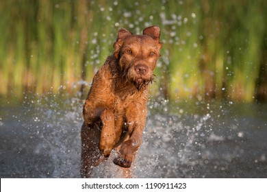 Wirehaired Vizsla Magyar in the water