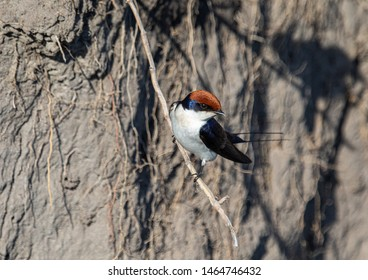 A Wire-tailed Swallow sitting on a branch at the Bwabwata Nationalpark in Namibia during summer