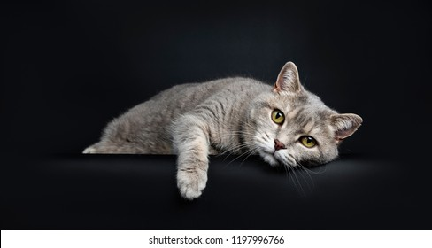 Wise looking senior British Shorthair cat, laying head down very lazy with paw over edge, looking at camera, isolated on black background