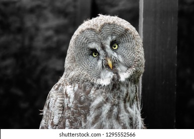 Wise old eagle owl - Alaska eagle owl