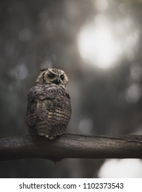 Wise Old Night Owl Perched on a Branch at Sunrise