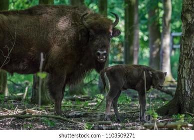 Wisent calf - European Bison